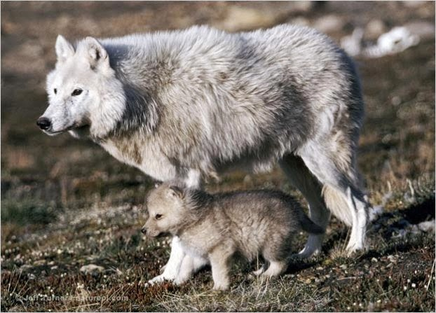 Tundra wolves & pups during the den cycle in northern Canada (Video)