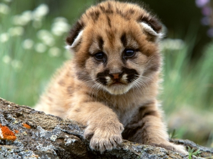 mountain lion cub on a log. Awwww