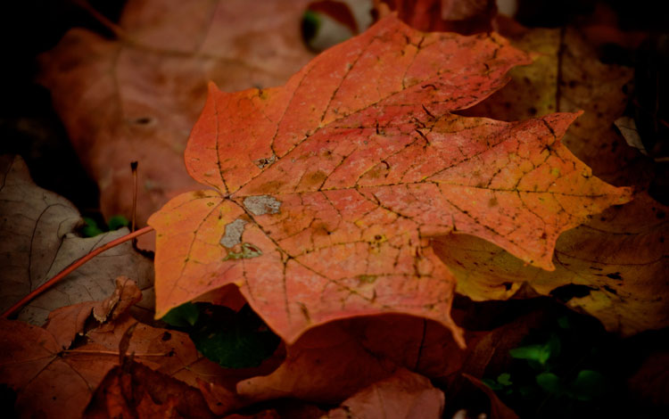 An orangish-red maple leaf shines brightly on the forest floor after a soft autumn shower (from Spring Valley Wildlife Area in Waynesville, Oh).