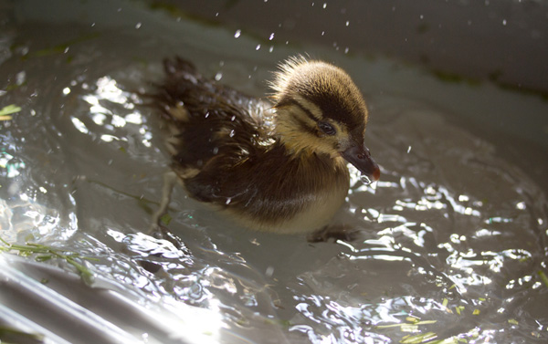 Cute baby mandarin duck swimming, cute baby duck, baby duck pictures
