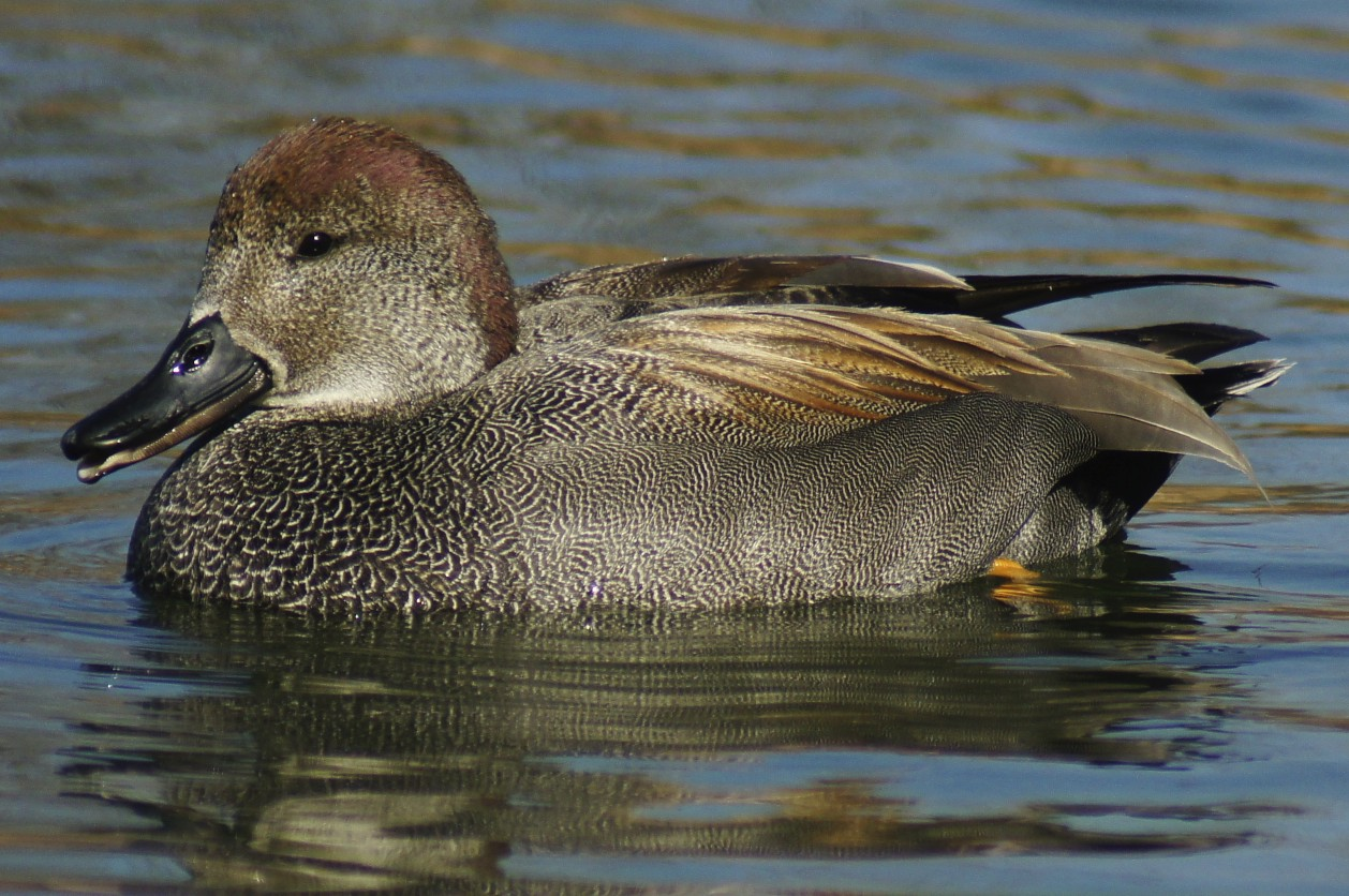 Funny duck the Gadwall. They're not especially colorful or elegant, at ...