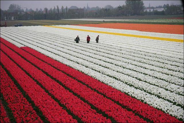 21 شهر مايو في هولندا  موسم حصاد زهور التوليب  جنة على الأرض