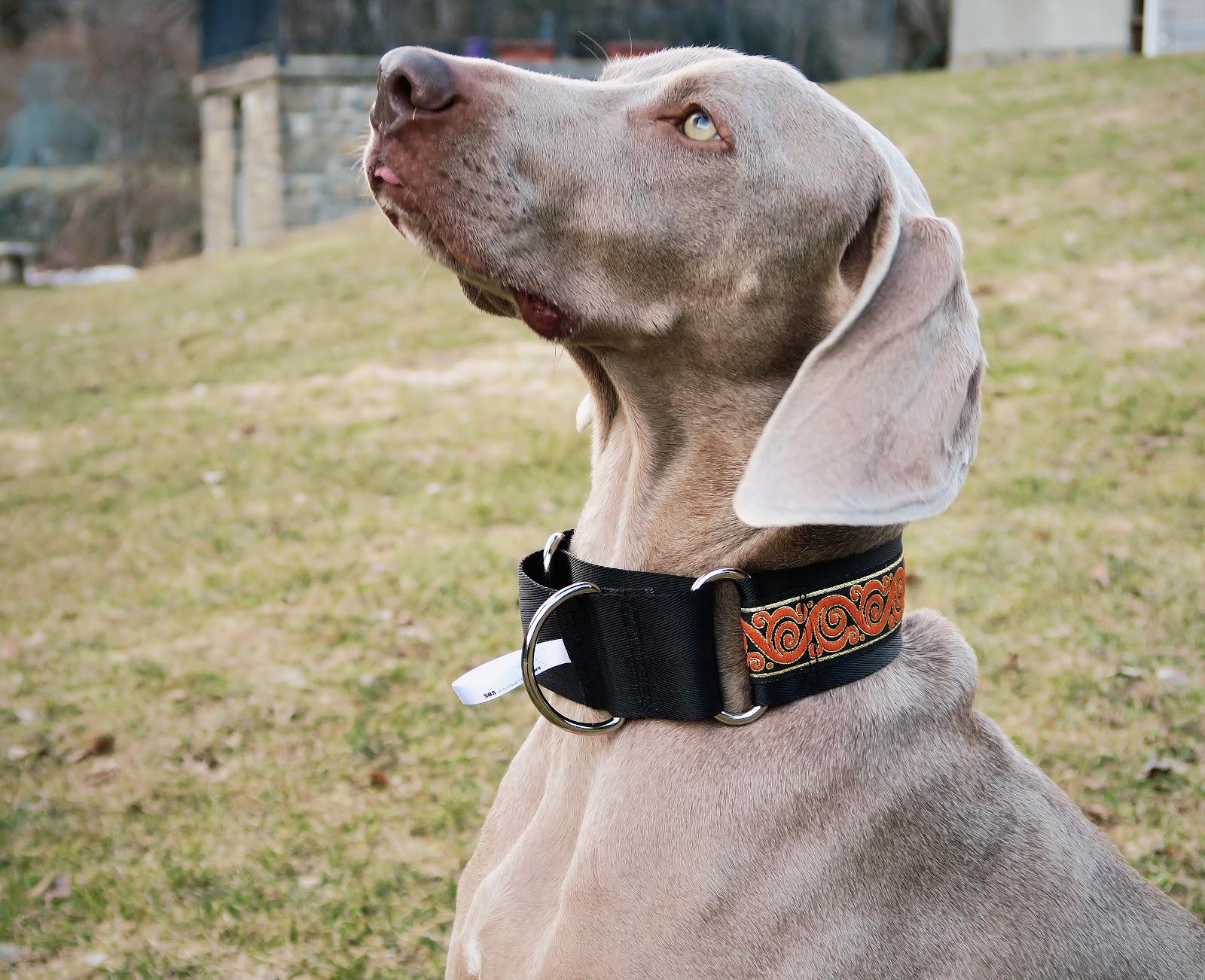 La meteo que viene sos weimaraner collares para perros for Collares para perros