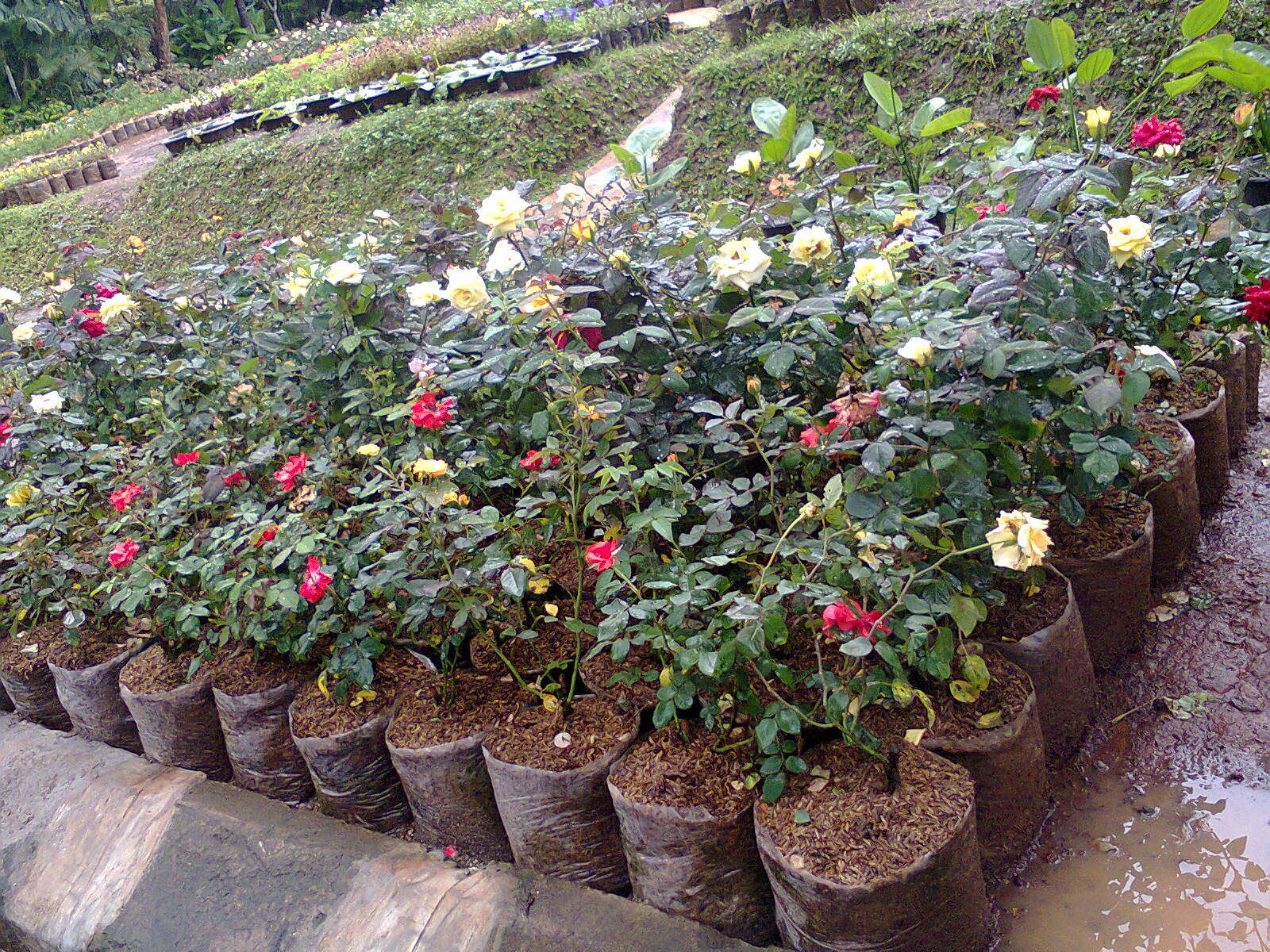 aneka warna bunga tanaman mawar