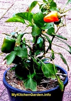 Orange - Green Capsicums growing in a pot