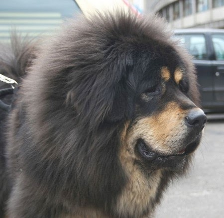 Pure Tibetan mastiffs are very rare, just like our nationally treasured pandas, so the prices are so high