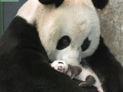 osa panda con osito panda