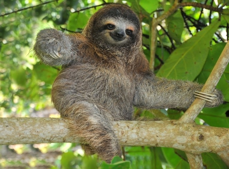 the brazillian three toed sloth essay The three-toed sloth coexists with the two-toed sloth, genus choloepus, and these two animals will sometimes even share the same tree continue reading countries of the amazon river basin.