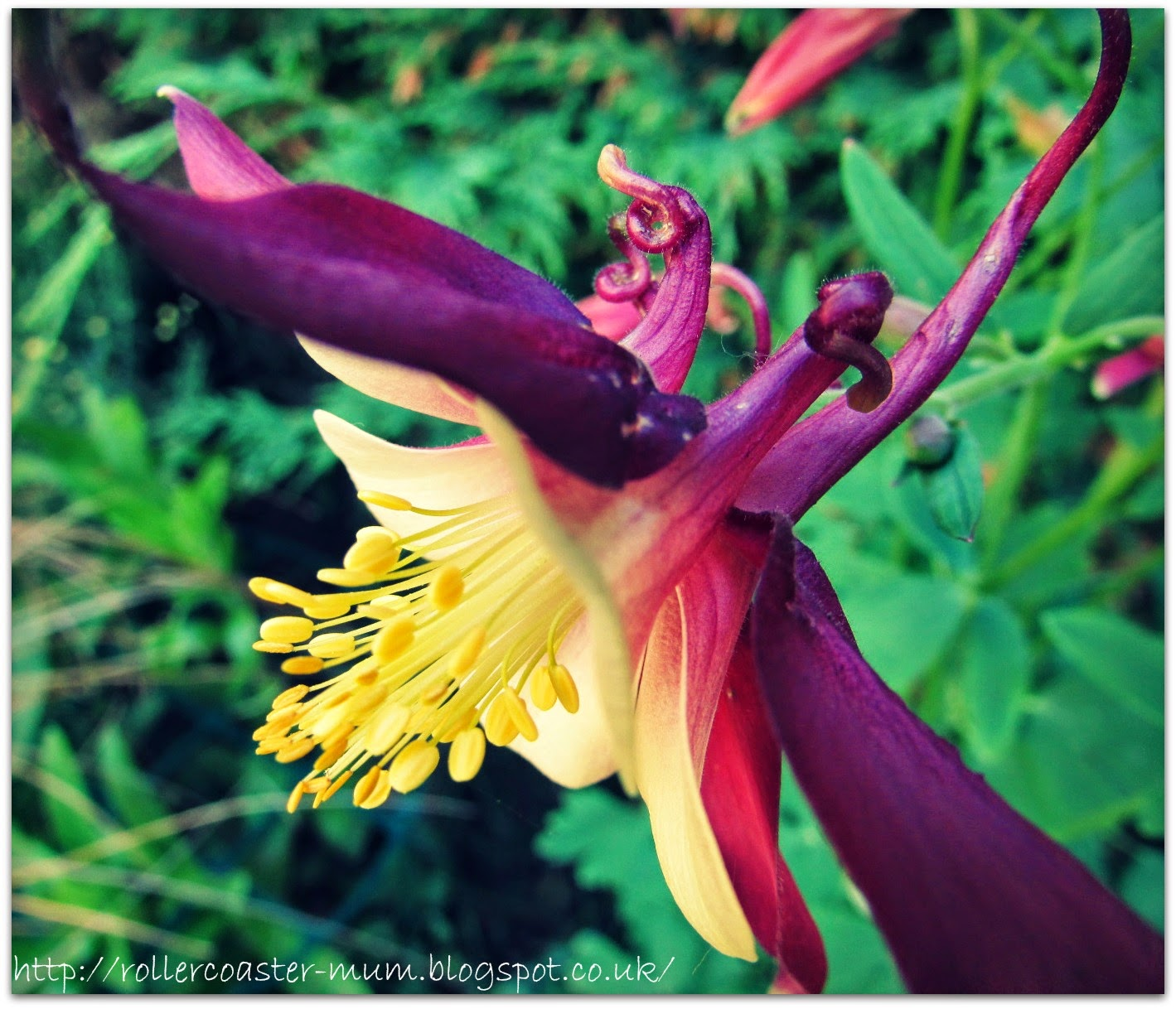Granny's Bonnet flower, Aquilegia