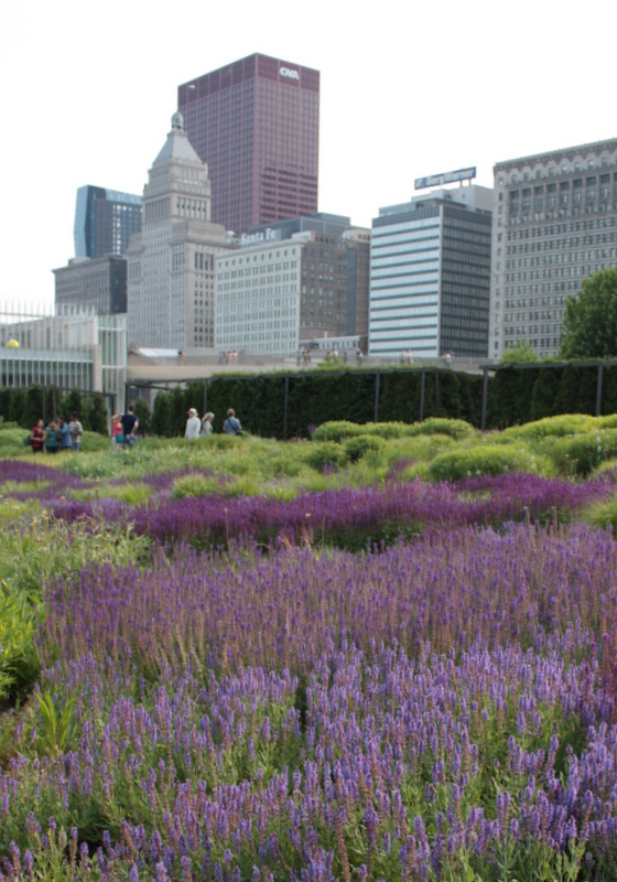 Salvia at Lurie Garden southwest
