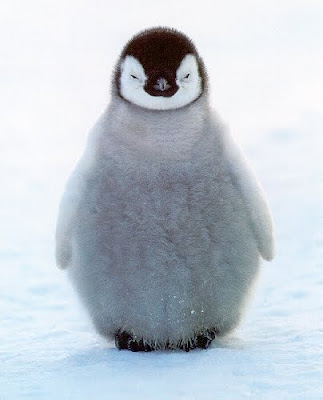 Baby penguins pictures