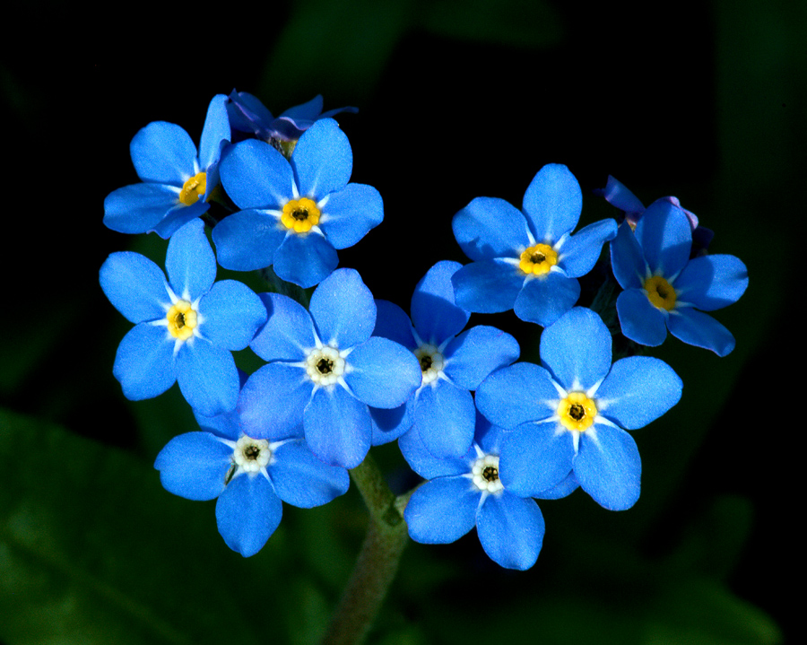 Forget-me-not - Photos