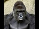 Simian Lives Matter...People Outraged Over Ape Killing