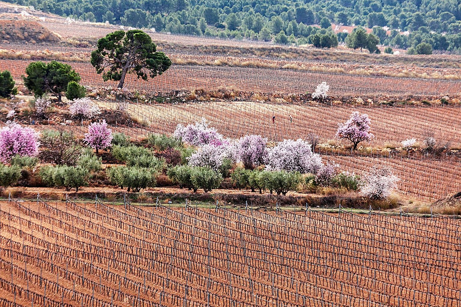 Jumilla, Floracion almendros