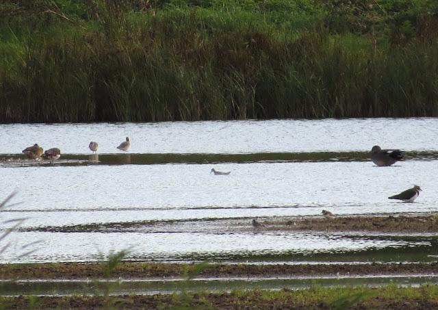 Wilson's Phalarope - Vange Marsh, Essex