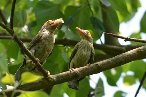 Birds Lineated Barbet at Chintamani kar bird sanctuary. by Prakriti Bhalopahar