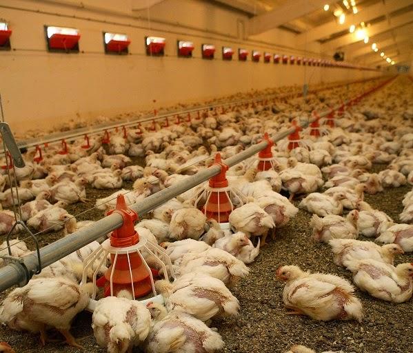 Thông thoáng chuồng nuôi là một trong những khía cạnh quan trọng trong chăn nuôi