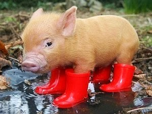 phinny's friend and fan takes on rainy season with rain boots via geniushowto.blogspot.com cute piglets
