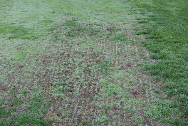 bentgrass slit seeding golf course fairway