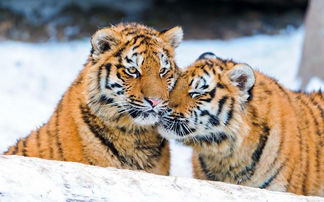 Tigres en la Nieve Imagenes de Animales