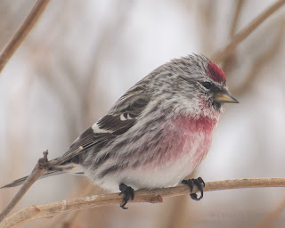 Male Common Redpoll. photo  © Shelley Banks, all rights reserved.
