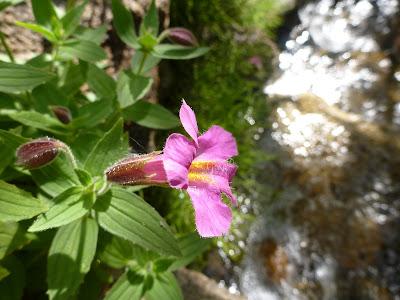 Pink Monkey-Flower (Mimulus lewisii)