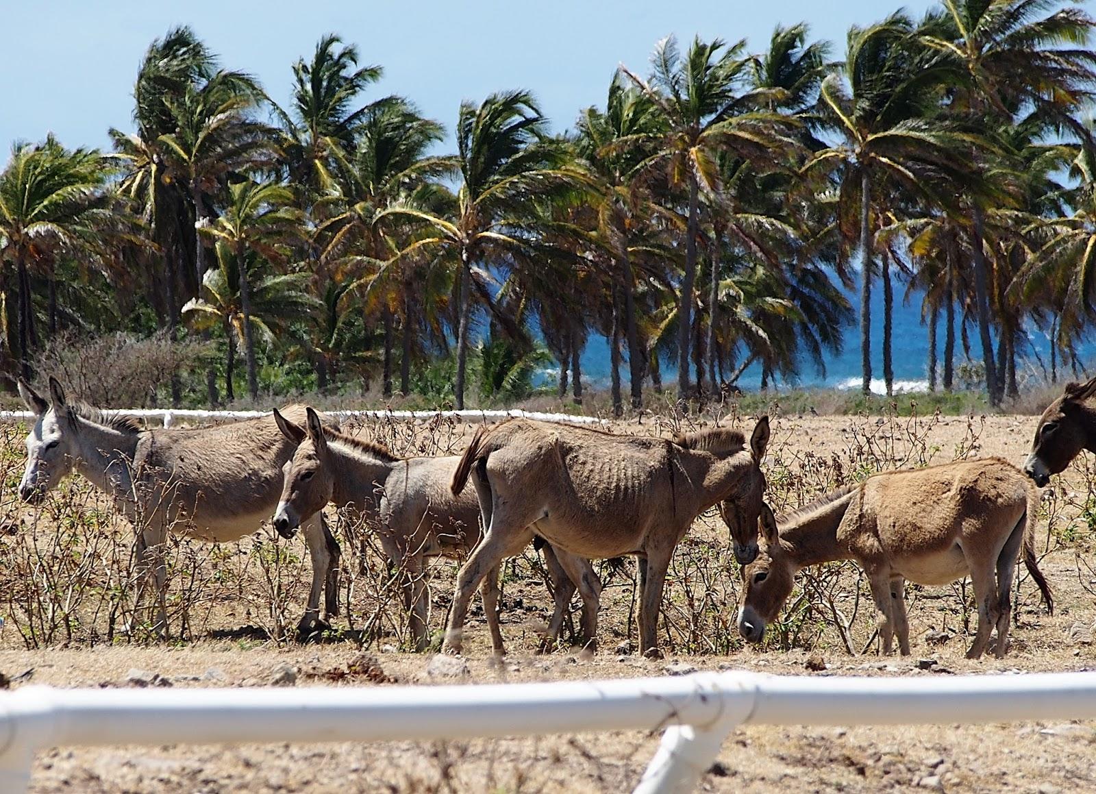 Donkey Donkey Racing #IndianCastleRacetrack #racetrack #donkey #donkeys #caribbean #Nevis ©2015 Nancy Lundebjerg