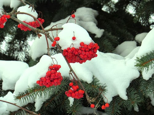 highbush cranberry and snow
