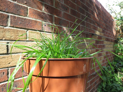 A Single Grass Plant in a Pot