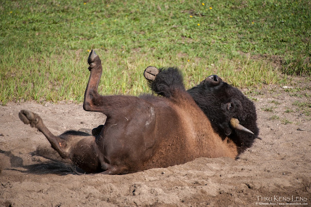 Buffalo ,Bison