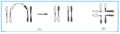 Translokasi resiprok