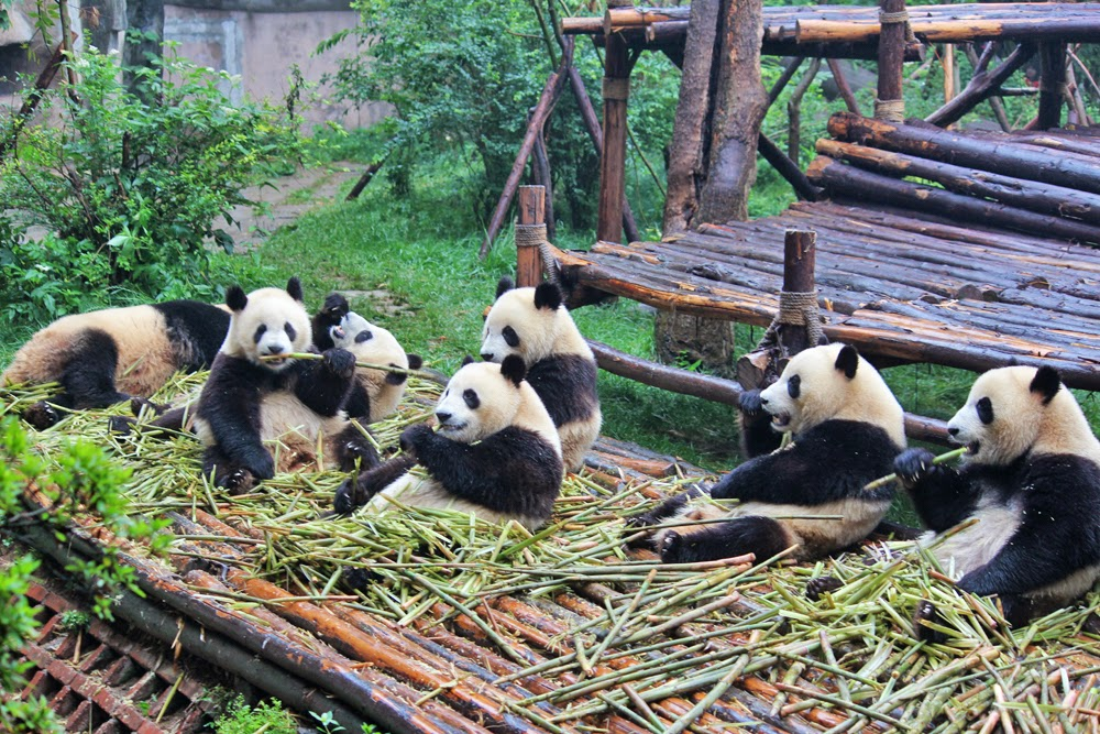 Reserva natural de Osos Pandas Gigantes en Chengdu, China