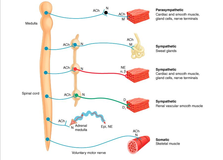 Neurotransmitter Chemistry Of Autonomic on pain receptors body diagram