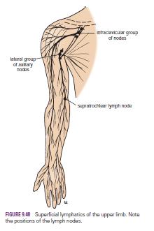 human medecine: dermatomes and cutaneous nerves-superficial veins, Cephalic Vein