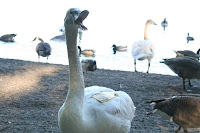 Eerie moment: a very quiet swan! :: All Pretty Things