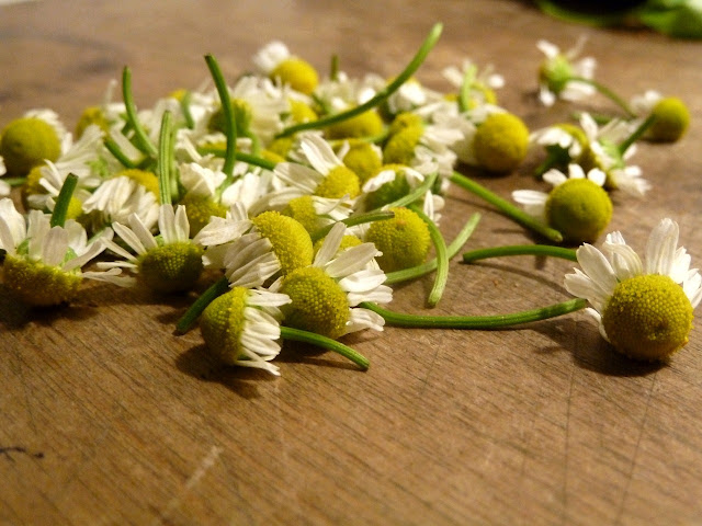 Chamomile flowers deadheaded