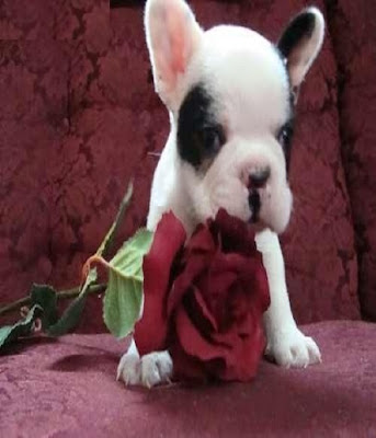 Photo bébé bouledogue francais