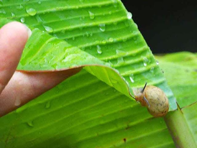 snail on banana leaf