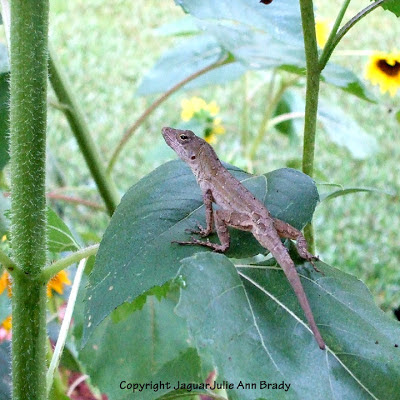 Brown anole lizard on a sunflower leaf