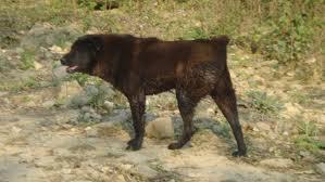 Giống chó H'Mông Việt Nam