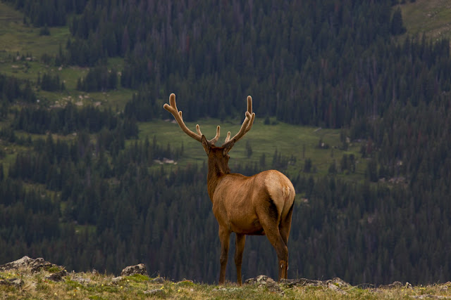 An elk with big antlers taking in the view at Rocky Mountain National Park.