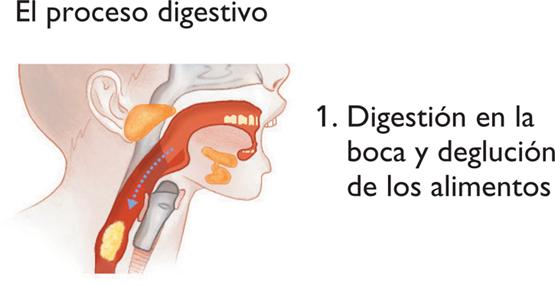 Proceso Digestivo | Gori-Gori