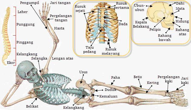 Sistem Rangka pada Tubuh Manusia dan Macam-macam Jenis Bentuk Tulang