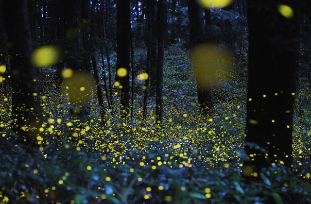 fireflies lightning bugs at night