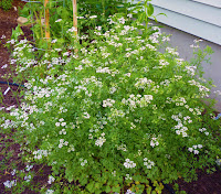 Cilantro in bloom in the garden.