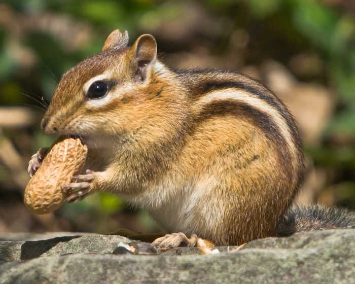 how to make a chipmunk