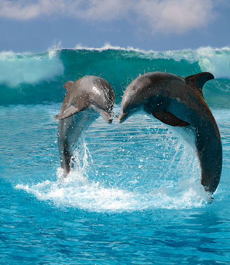 the history of dolphins and how they communicate under water Sperm whales, and how they communicate  or dolphins which whistle the whales make the sounds in the 'big tub of oil at the front of their huge heads',.