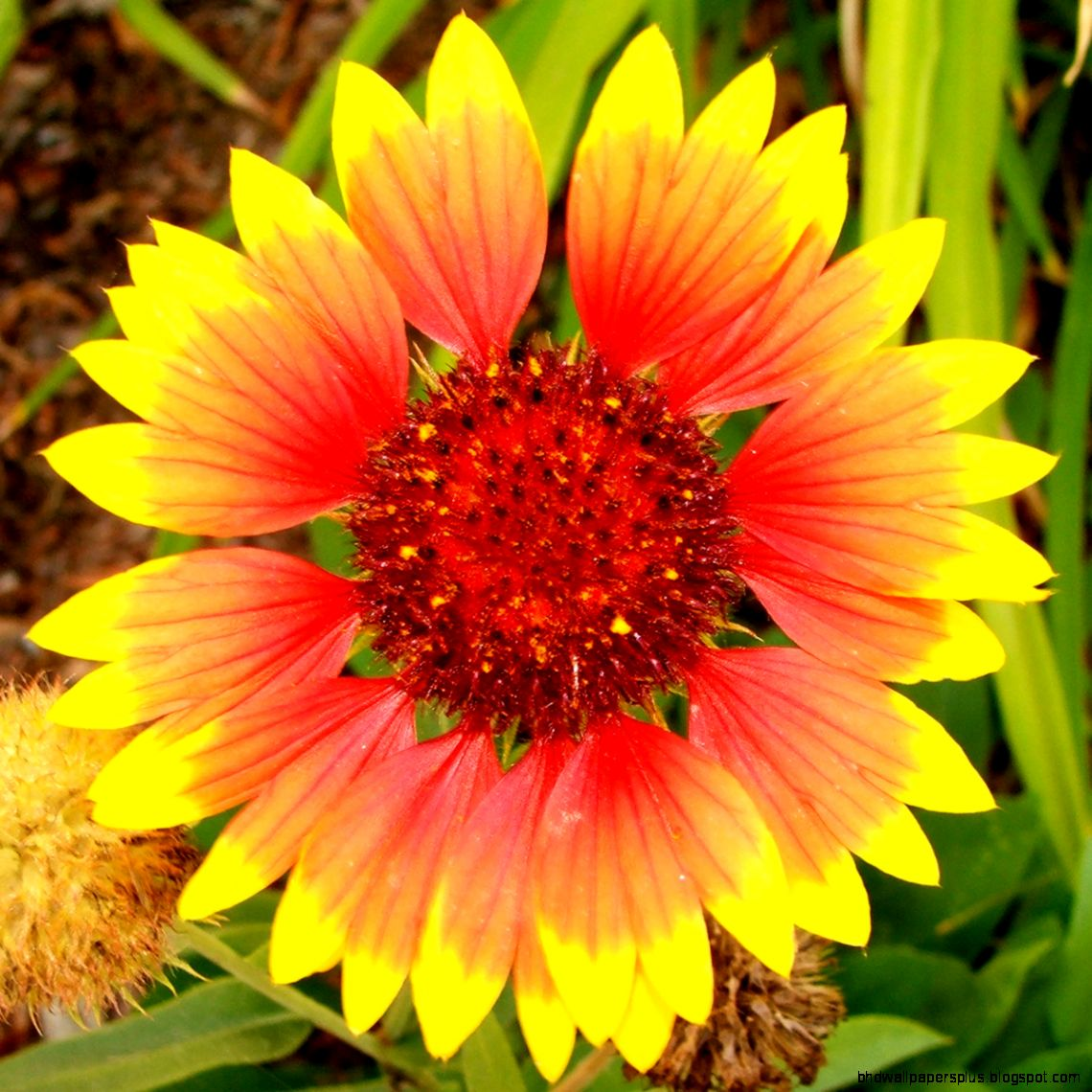 FileYellow and Orange Flower   Wikipedia the free encyclopedia