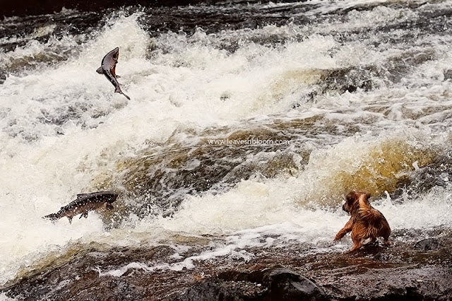 Wild Salmon leaping on River Almond, Perthshire