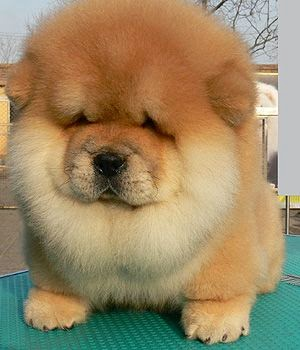 3 Cute Chow chow Puppy